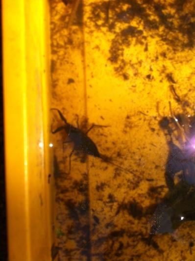 Water scorpion!