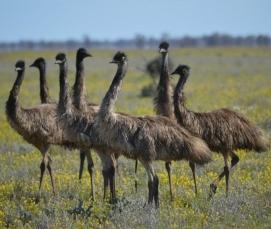 emus-dromaius-novaehollandiae-toorale-national-park-141545