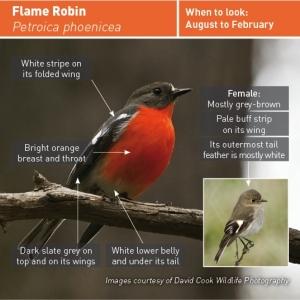 flame-robin