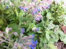 Borage to attract bees