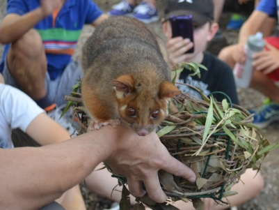 A ringtail possum and homemade drey