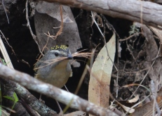 Spotted pardalote nest building