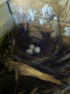 Shrike thrush nest