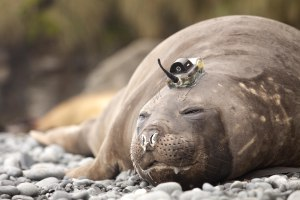 An elephant seal with an electronic tag on its head